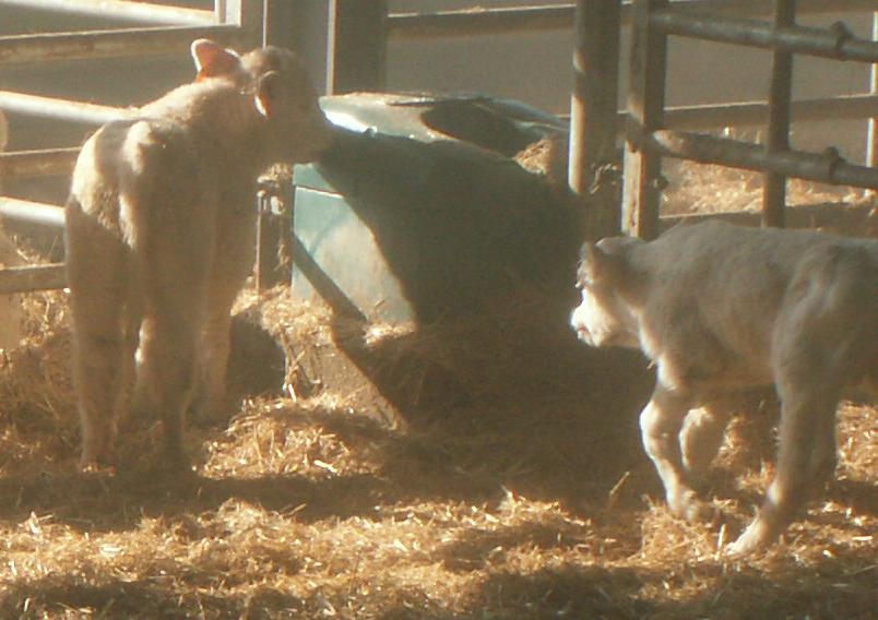 La carence en sodium se manifeste d'abord chez les veaux avec du « pica », une baisse de la croissance, une aggravation des diarrhées néonatales...