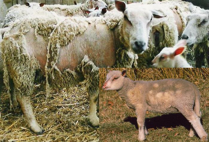 Photo: Francis Personne Les symptômes sont d'abord discrets d'où la nécessité d'être attentif dans la surveillance de votre troupeau.