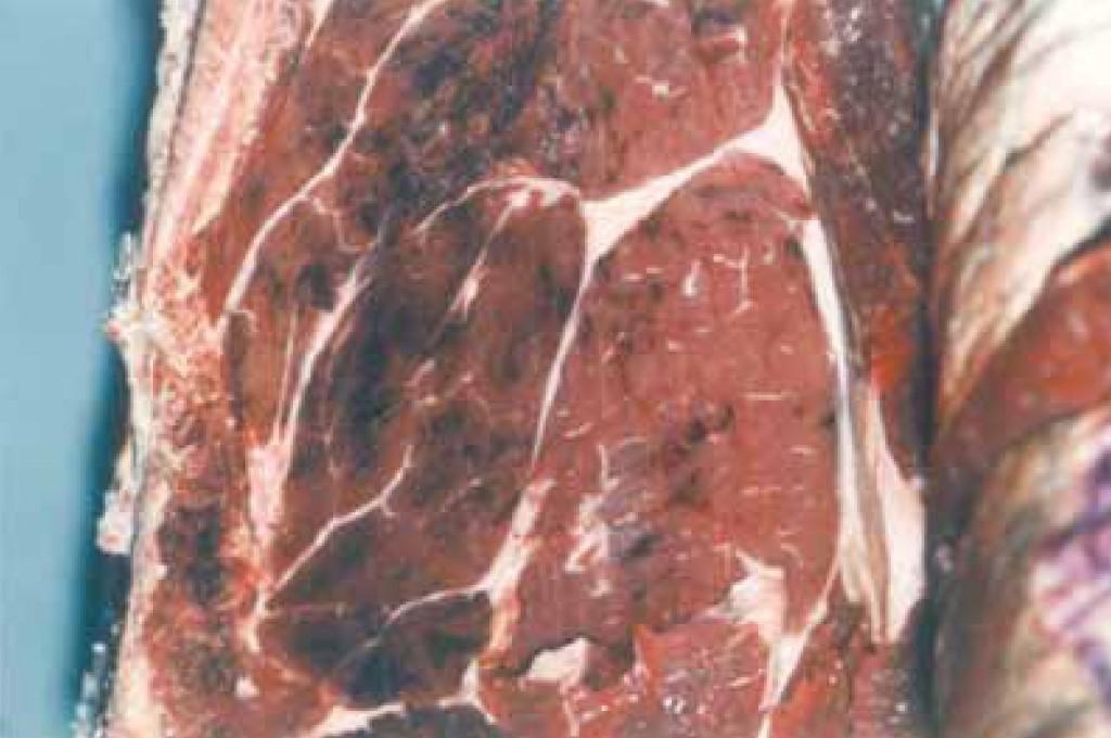 Le purpura se manifeste par la présence de multiples taches de sang dans les muscles et les abats rouges. Ces défauts rendent la viande non commercialisable pour des questions de présentation, d'où sa saisie au stade de l'abattoir, même si elle demeure parfaitement consommable.
