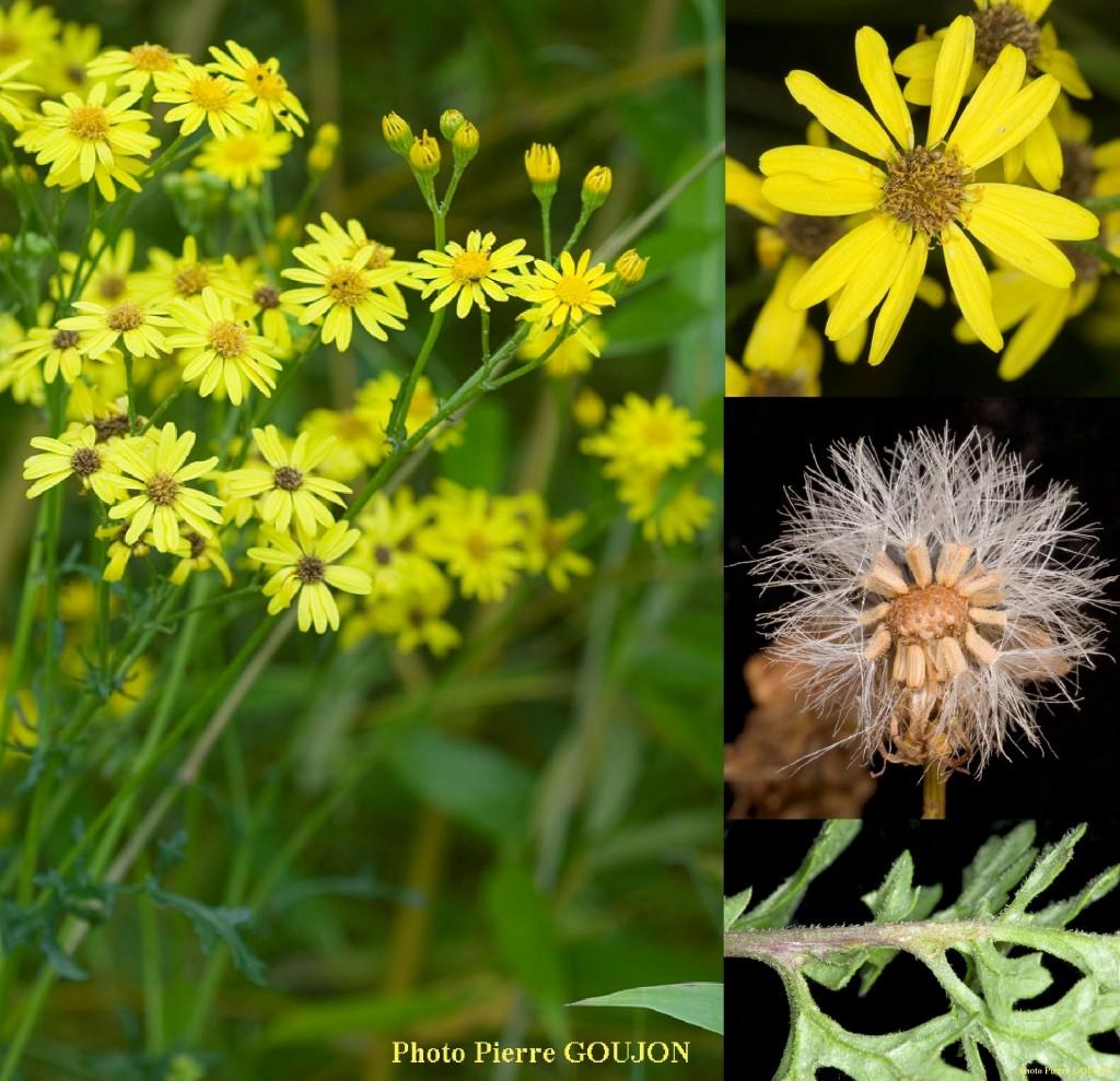 Le séneçon de Jacob est une plante herbacée bisannuelle de 30 à 100 cm de haut. La tige est rougeâtre et rameuse. Les feuilles sont alternées, sessiles à oreilles embrassantes, les inférieures lyrées, les autres pennetipartites. Les fleurs jaunes sont réunies en capitules nombreux de 2 cm de large. La floraison se déroule juillet à septembre Le fruit est un akène surmonté d'une aigrette de poils blancs de 4 mm.
