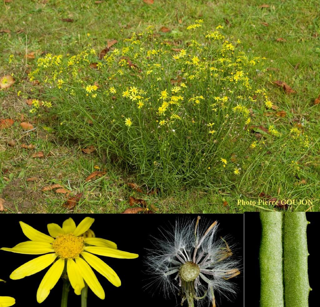 Le séneçon du Cap est une plante herbacée de 40 à 80 cm, pluriannuelle, d'une durée de vie de cinq à dix ans. La tige est pleine, à section ronde. Les feuilles sont alternes, avec une base simple ou embrassante formant des oreillettes aigues. Les feuilles sont simples. Elles sont entières, à bords parallèles, non pétiolées. Elles ont un limbe coriace, avec un bord denté et un sommet pointu. Leurs deux faces sont pubescentes. La floraison a lieu de mai à décembre. L'inflorescence est jaune dorée, chaque capitule est bordé de 12 à 14 ligules de couleur jaune et les fruits, des akènes plumeux sont formés de juin à janvier.