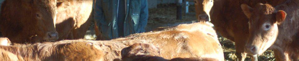 Une note d'état supérieure à 2,5, une luminosité suffisante, de la stabulation libre, la présence du taureau… constituent autant d'éléments favorables à la reprise de la cyclicité chez la vache après le vêlage. Une observation stricte de ses vaches du vêlage à deux mois après la saillie ou l'insémination s'avère cruciale pour une bonne gestion de la reproduction de son troupeau.