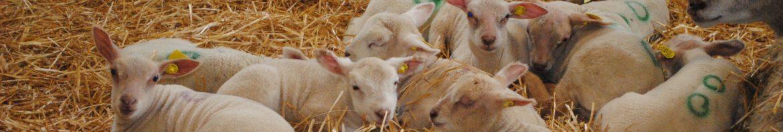 agneaux bergerie + bergerie 026