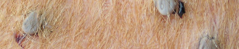 La solution la plus raisonnée vis à vis des maladies transmises par les tiques est de privilégier l'immunisation naturelle du prétroupeau et assurer son maintien chez les animaux adultes. Cela demande une bonne connaissance de l'équilibre présent au sein de son exploitation et implique une gestion intégrée compatible avec le maintien de l'environnement (botanique, écologique…) et l'immunité des animaux. Sauf cas très particuliers, les traitements acaricides ne constituent aucunement une solution et peuvent même être contreproductifs.