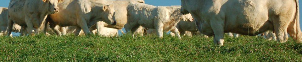 Vaches charolaises mise à l'herbe