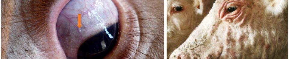 Besnoitiose kyste oeil sclérodermie (GDS France)